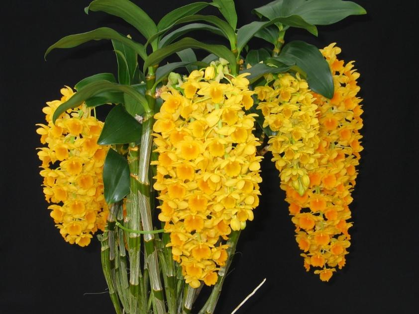 Dendrobium densiflorum (nativo)