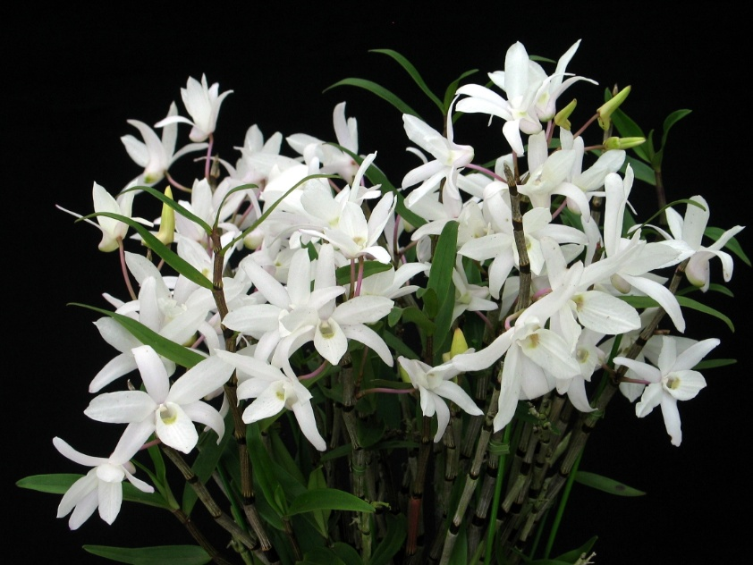Dendrobium moniliforme (nativo)