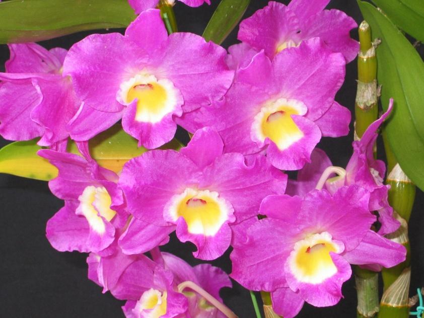 Dendrobium newstar (híbrido)
