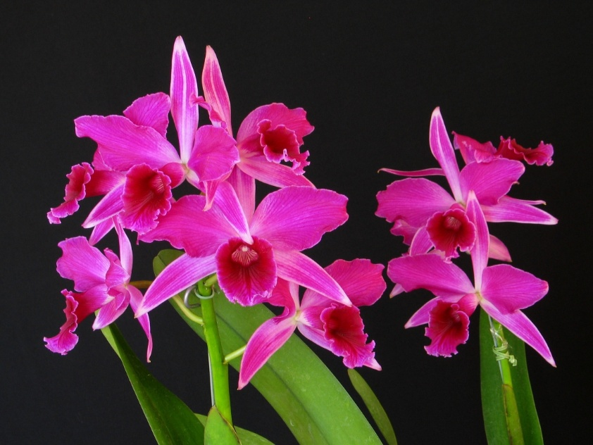 "Laelia purpurata ""Nobile"""