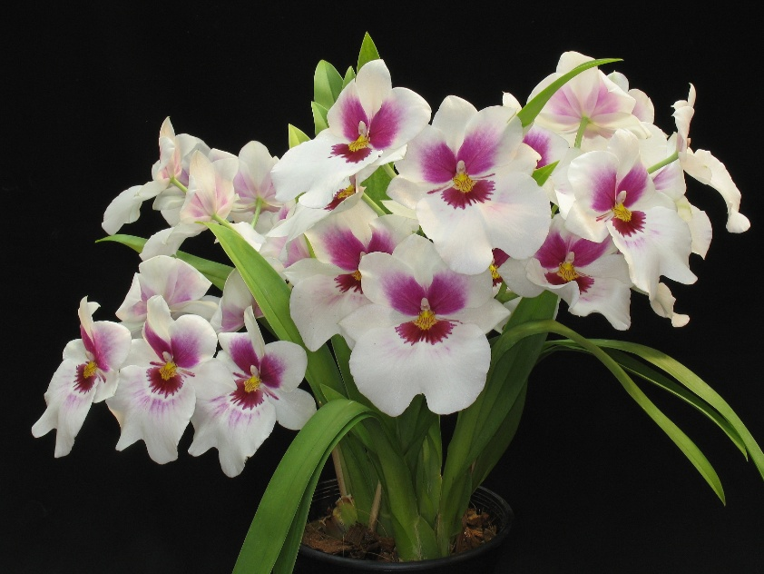Miltonia Ceo Apple