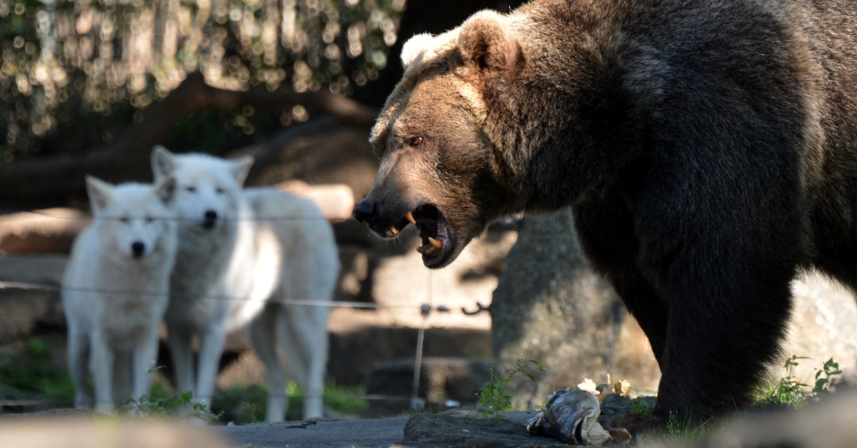 14.set.2012 - Lobos observam urso marrom comer peixes no zoológico de Berlim, na Alemanha
