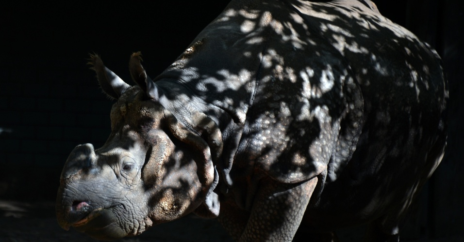 14.set.2012 - Rinoceronte caminha em seu recinto no zoológico de Berlim, na Alemanha