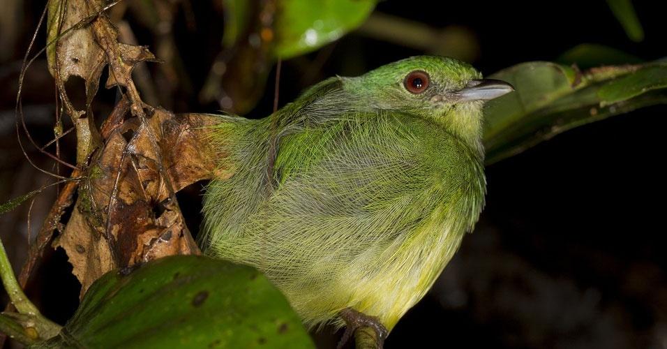 Segundo uma compilação de dados da WCS, o Parque Nacional Madidi possui 11% das espécies de pássaros do mundo, como esta fêmea de uirapuru-de-chapéu-azul