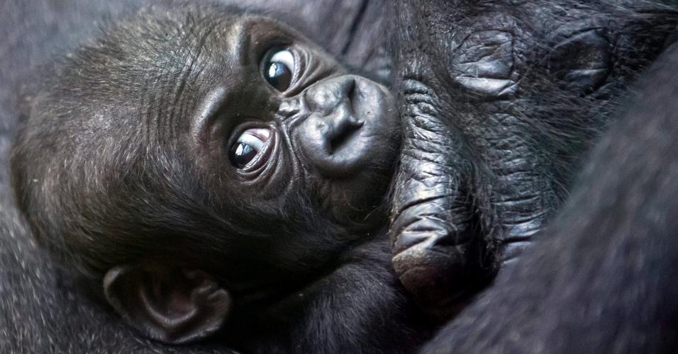 19.set.2012 - O bebê gorila Mawimbi descansa no colo da mãe, Mamitu, no zoológico de Zurique, na Suíça