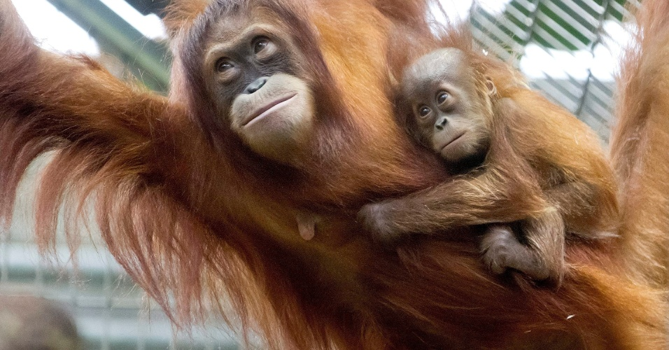 19.set.2012 - Orangotango se agarra a sua mãe no zoológico em Zurique, na Suíça