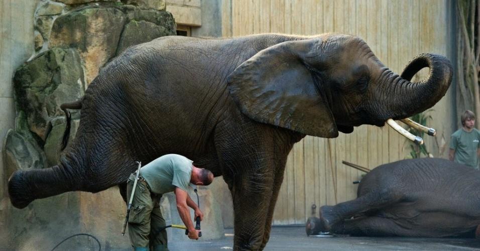 """19.set.2012 - Tratador dá banho em elefante conhecido como """"Drumbo"""" no zoológico de Dresden, no leste da Alemanha. Mais de 2.000 animais de cerca de 300 espécies vivem no zoo, que recebe aproximadamente 700 mil visitantes por ano"""