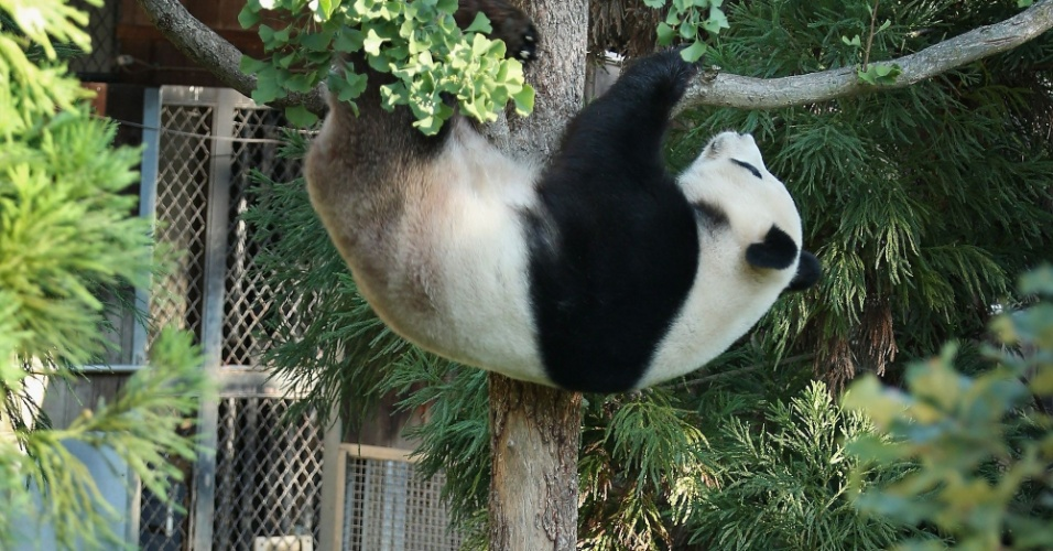 24.set.2012 - O panda gigante Tian Tian, de 125 quilos, sobe em árvore em zoológico de Washington, nos Estados Unidos