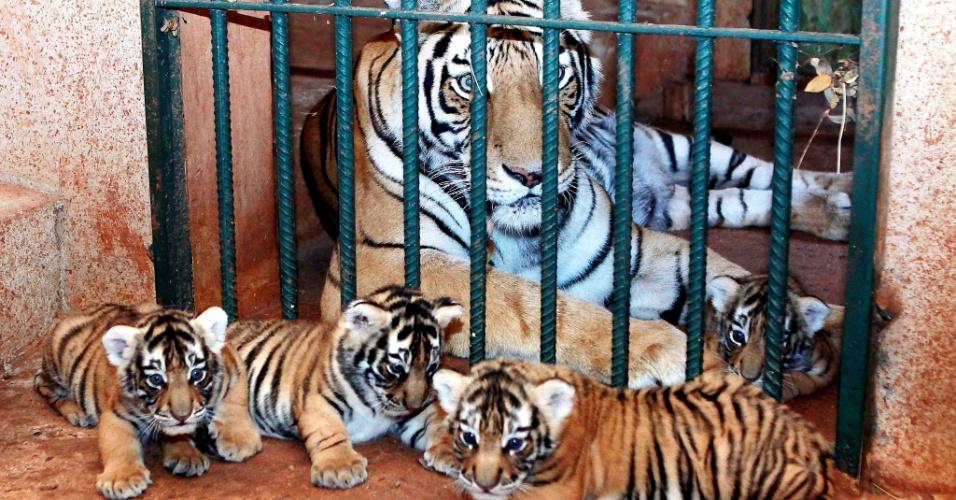 24.set.2012 - Quatro filhotes de tigre-de-bengala são vistos no zoológico de Goiânia (GO). Os animais têm pouco mais de um mês e recebem todos os cuidados dos veterinários do zoológico