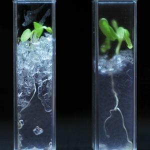 Solo transparente, que ajudará no estudo das raízes, demorou cerca de dois anos para ser desenvovido