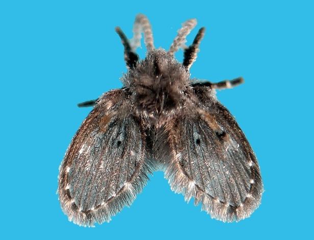 Minúsculas, mas não invisíveis: mosquinhas não causam mal a saúde, mas podem provocar incômodo