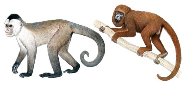 Macaco-caiarara (à esq.) e bugio-marrom são as espécies do Brasil entre os 25 primatas mais ameaçados