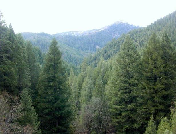 Floresta de coníferas no norte da Califórnia. As coníferas são o grupo mais numeroso e de maior distribuição geográfica entre as gimnospermas: são cerca de 50 gêneros e 550 espécies.