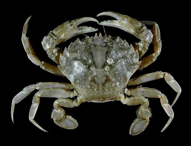 """O """"Liocarcinus vernalis"""" é um tipo de caranguejo que se encontra da África ocidental ao Mar do Norte, embora até cerca de 20 anos atrás se acreditasse que a espécie fosse limitada ao Mediterrâneo"""
