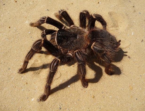 """A Caranguejeira-rosa-salmão-brasileira (""""Lasiodora parahybana"""") pode atingir 20 cm de comprimento e pesar 100 gramas. As caranguejeiras são as maiores aranhas que existem, compreendendo cerca de 900 espécies."""
