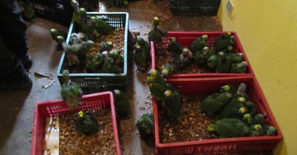17.10.2012 - Papagaios que eram criados e comercializadas ilegalmente foram apreendidos em operação da Polícia Federal na cidade de Francisco Morato, região metropolitana de São Paulo. A Operação Cipó, que visa coibir o tráfico ilícito de animais silvestres, apreendeu mais de 570 animais da fauna brasileira em cidades de quatro Estados do país