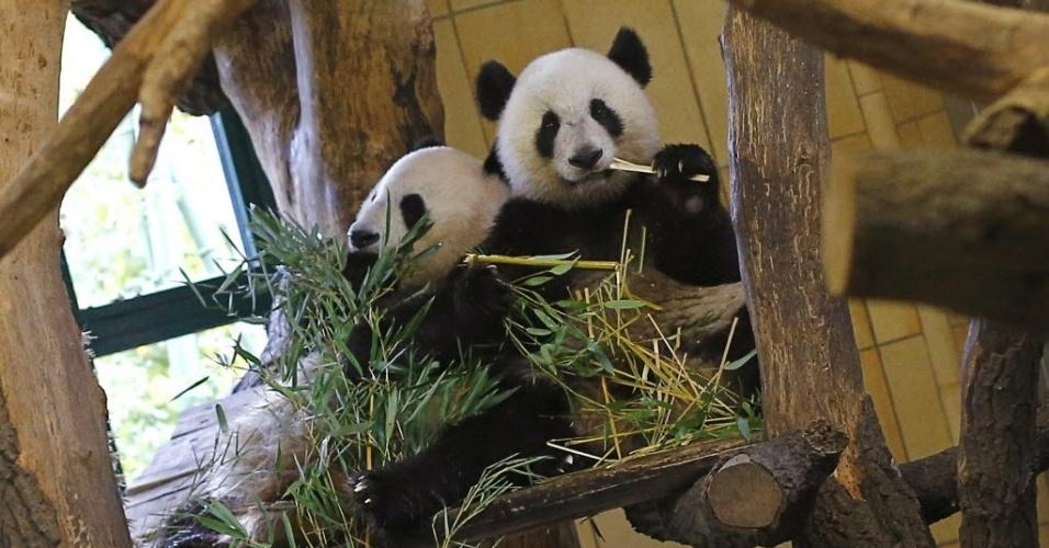 17.out.2012 - Panda Fu Hu (direita) come bambu em cativeiro no zoo de Schoenbrunn, em Viena (Áustria)