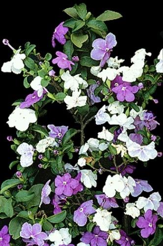 manaca de jardim em vaso : manaca de jardim em vaso: ser plantada em vasos a sol pleno ou em canteiros Divulgação Mais