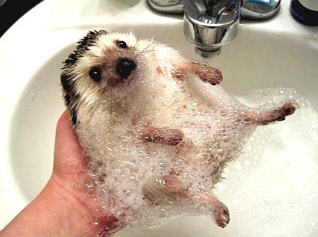 E olha só a folga desce porco-espinho! Também, o banho dele teve de tudo: espuma, água gostosa e uma mãozinha pra ensaboar