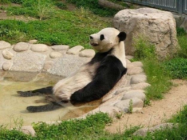 Esse panda sabe aproveita a hora do banho. Sentado em sua banheira, olhar perdido no horizonte... só deixando o corpo relaxar