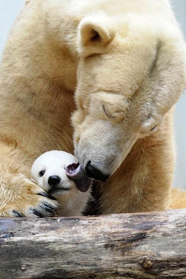 Qual é o cúmulo da fofura? Talvez o banho de um ursinho polar, dado com todo o carinho por uma mamãe ursa bem fofa!