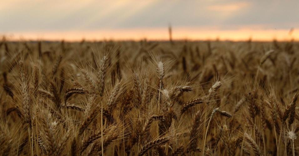 31.out.2012 - A produção mundial de alimentos responde por quase um terço das emissões do efeito estufa, o dobro da estimativa da ONU (Organização das Nações Unidas), diz novo estudo. Assim, a mudança climática deve reduzir nas próximas décadas a produtividade de três produtos agrícolas que mais fornecem calorias à humanidade: milho, arroz e trigo (foto)