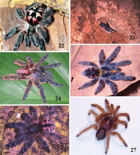 """31.out.2012 - Nove novas espécies de caranguejeiras foram descobertas pelo Instituto Butantan, em São Paulo. Quatro delas pertencem a um gênero misterioso que se imaginava extinto. As aranhas foram descritas no periódico """"ZooKeys"""". O pesquisador Rogério Bertani, autor do estudo, diz que, agora, o Brasil possui 16, em vez de sete, espécies desse tipo conhecidas"""