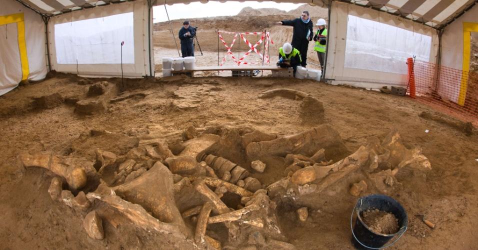 """7.nov.2012 - O esqueleto quase completo de um mamute, que teria vivido entre 200.000 e 50.000 anos antes de Cristo, foi descoberto em um sítio arqueológico perto da Picardia, norte da França. Apelidado de """"Helmut"""" pela equipe de escavação, ainda não está claro se o esqueleto é de um macho ou de uma fêmea. A descoberta excepcional também ajudará a esclarecer as ligações do mamute com o homem: por exemplo, investigando se ele morreu de morte natural, ou foi capturado"""