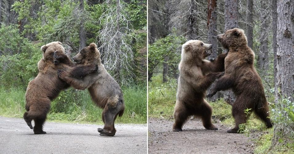 """14.nov.2012 - O fotógrafo japonês Shogo Asao registrou de perto uma luta de gigantes no Parque Nacional Katmai, no Alasca, nesta semana. Segundo ele, dois ursos-pardos com seis anos começaram a se encarar, rugir e brigar em pé depois que um deles roubou o almoço do outro, um salmão pescado no rio da reserva. """"Eles estavam rugindo, batendo, arranhando, mordendo e perseguindo um ao outro. Por isso, as fêmeas pescam em lugares isolados, para proteger seus filhotes e evitar brigas"""""""