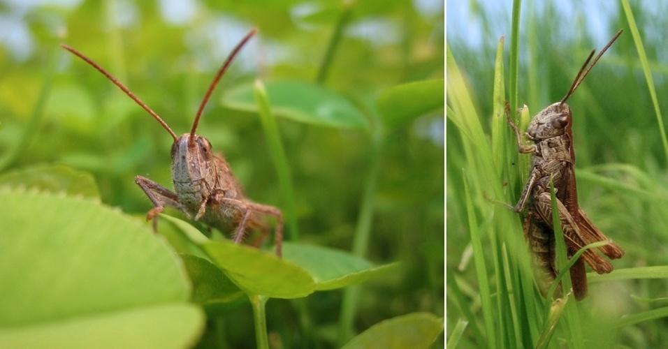 """Estudo de biólogos da Universidade de Bielefeld, na Alemanha, mostra que os gafanhotos da espécie  Chorthippus biguttulus que vivem em ambientes barulhentos - perto de estradas com tráfego intenso, por exemplo - aumentam o volume da parte de baixa frequência do seu """"canto"""" característico (som que, na verdade, é produzido pelos insetos ao esfregar suas patas posteriores nas suas asas dianteiras, com a função de atrair fêmeas)"""