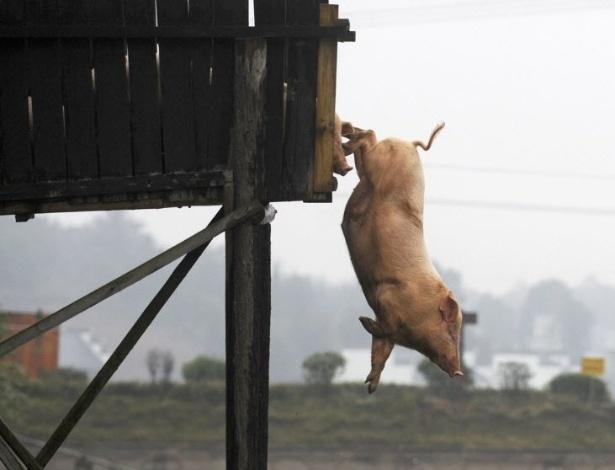 16.nov.2012 - Porco mergulha na água em fazenda de Ningxiang, na província chinesa de Hunan. Donos dos animais fazem seus porcos saltarem de uma altura de três metros pelo menos uma vez por day, acreditando que exercícios de mergulho podem melhorar a qualidade e o sabor da carne