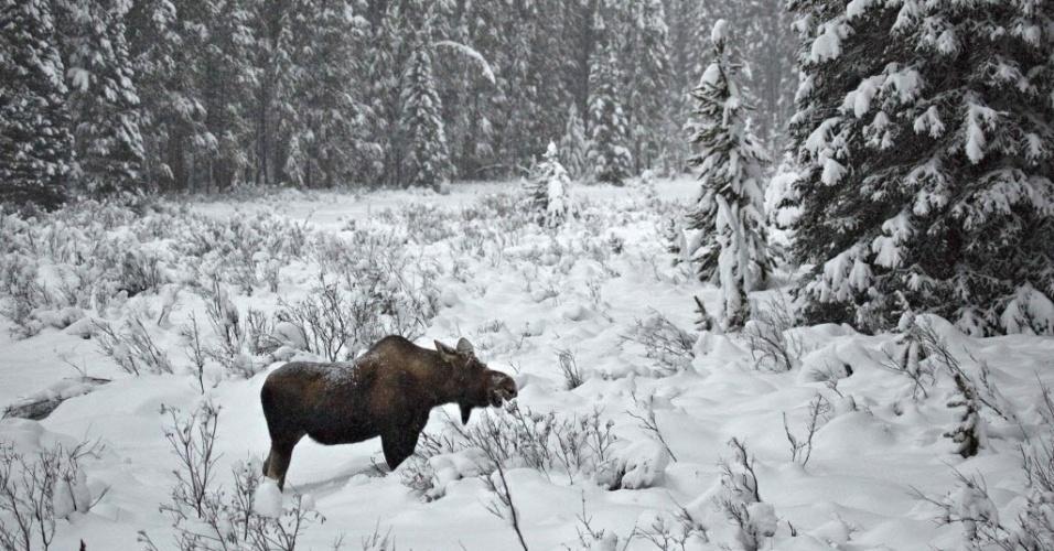 23.nov.2012 - Fêmea de alce se alimenta no parque nacional de  Banff, no Canadá, nesta sexta-feira (23)