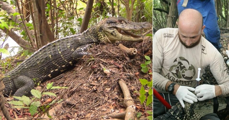 23.nov.2012 - Pesquisadores do Instituto Mamirauá encontraram a maior fêmea reprodutora de jacaré-açu registrada até agora nas Reservas de Desenvolvimento Sustentável Mamirauá e Amanã, que ficam no noroeste do Amazonas. A fêmea, que tem 2,91 metros e 74 quilos, foi vista na borda de um lago perto do seu ninho com 32 ovos - além disso, ela cuidava de alguns filhotes. Segundo o biólogo Robinson Botero-Arias, que coordena o estudo, as fêmeas maiores são mais velhas e mais adaptadas ao ambiente, por isso, têm mais chances de gerar filhotes saudáveis e protegê-los de ameaças naturais, garantindo que mais jacarés cheguem à idade reprodutiva
