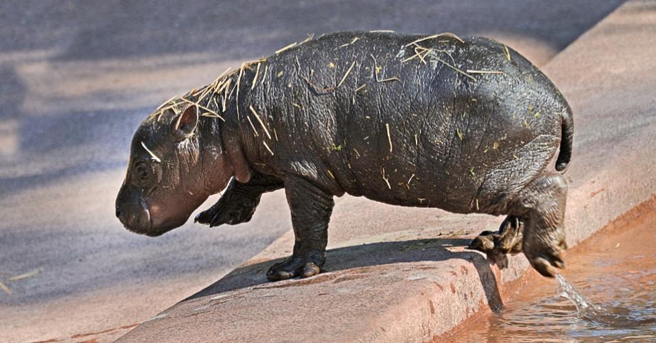 23.nov.2012 - Um hipopótamo pigmeu, animal ameaçado de extinção, nasceu no zoológico de Tampa, na Flórida, com 4,5 quilogramas de peso e 50 centímetros de comprimento. Originário da África, o animal costuma crescer e pesar metade do que os hipopótamos comuns. Calcula-se que só restem três mil exemplares selvagens destes animais no mundo que são considerados noturnos e solitários