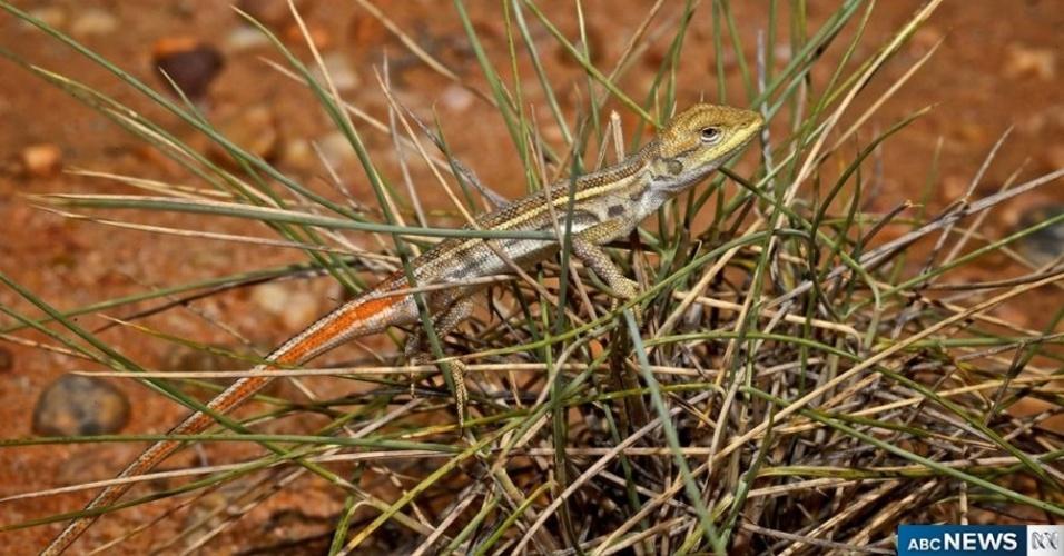 26.nov.2012 - Biólogos descobriram uma nova espécie de lagartixa-dragão em uma estância criadora de gado na cidade de Longreach, em Queensland, no nordeste da Austrália. Segundo Angus Emmott, que liderou a equipe, as regiões áridas do país possuem a maior diversidade de répteis do mundo
