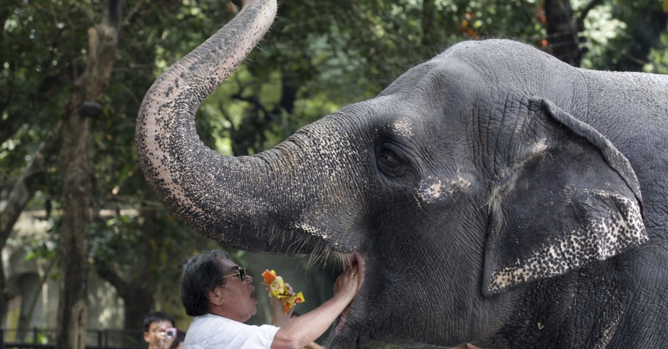 30.nov.2012 - Tratador alimenta a elefoa Maali, nesta sexta-feira (30), no zoológico de Manila (Filipinas). Grupos conservacionistas fazem uma campanha para libertar Maali do local, onde ela está sem a companhia de nenhum outro elefante há 35 anos