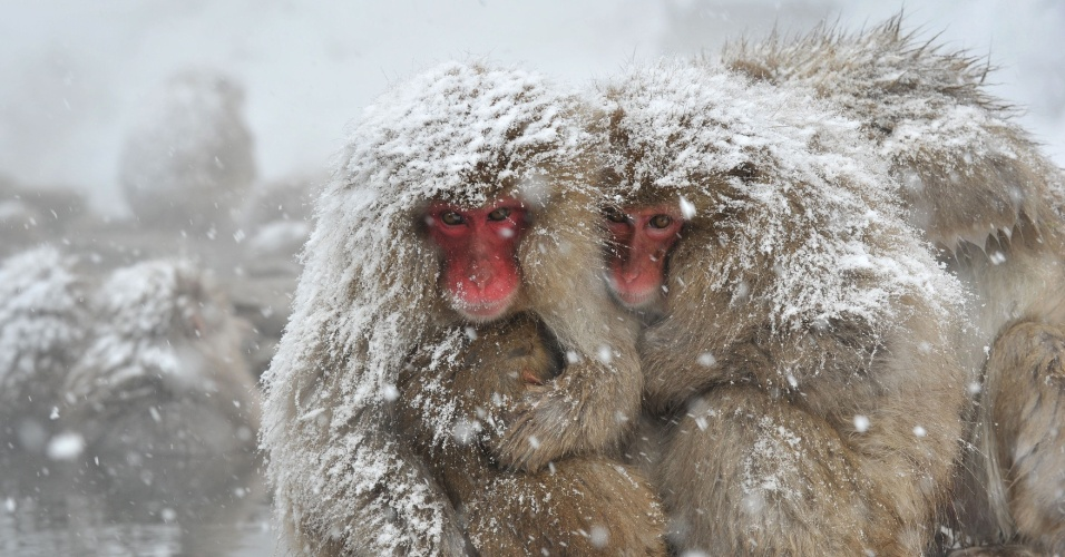 10.dez.2012 - Macacos-japoneses se abraçam para se protegerem do frio em parque da cidade de Yamanouchi, no Japão