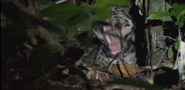 A pantera-nebulosa-de-bornéu é uma espécie considerada vulnerável