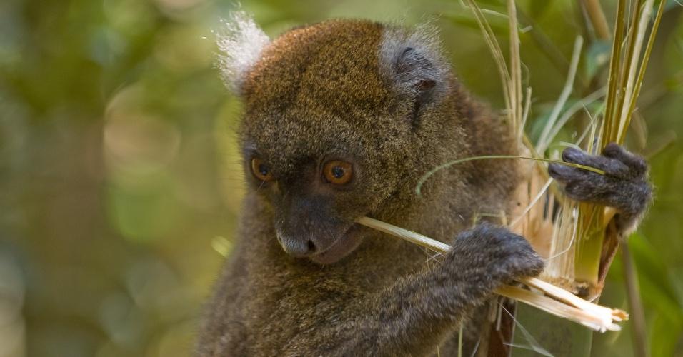 """Lêmur do bambu (""""Prolemur simus""""), espécie de Madagascar, na África, é uma das cem espécies mais ameaçadas do mundo, segundo relatório da União Internacional para a Conservação da Natureza (IUCN, na sigla em inglês). De acordo com a instituição, cerca de 91% dos lêmures da ilha africana correm risco de desaparecer do planeta"""