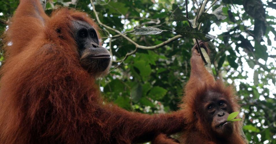 13.dez.2012 - Cerca de 40% dos produtos de madeira exportados do leste da Ásia e do Pacífico são fabricados com madeira ilegal, crime que coloca espécies em risco. Segundo a ONU, apenas 50 mil orangotangos vivem soltos na selva da Indonésia, por exemplo, e o destino dos animais está ligado diretamente às florestas do país