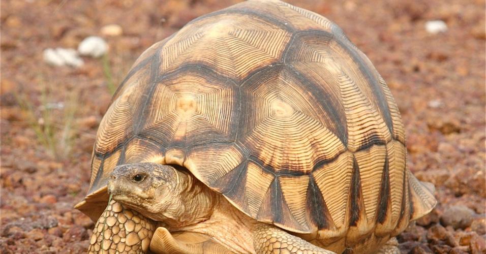 A população da tartaruga Astrochelys yniphora não ultrapassa a marca de 770 indivíduos em Madagascar, na África, diz relatório da IUCN