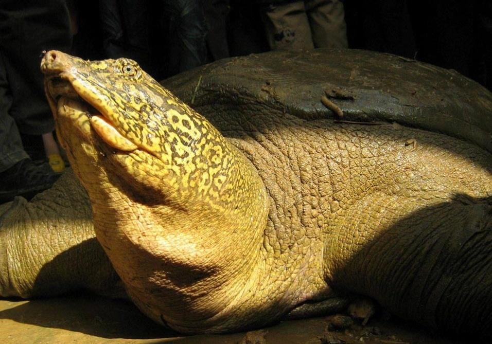"""Só restam quatro tartarugas """"Rafetus swinhoei"""" vivendo na natureza - a espécie é encontrada no Vietnã, além do zoológico Suzhou, da China"""