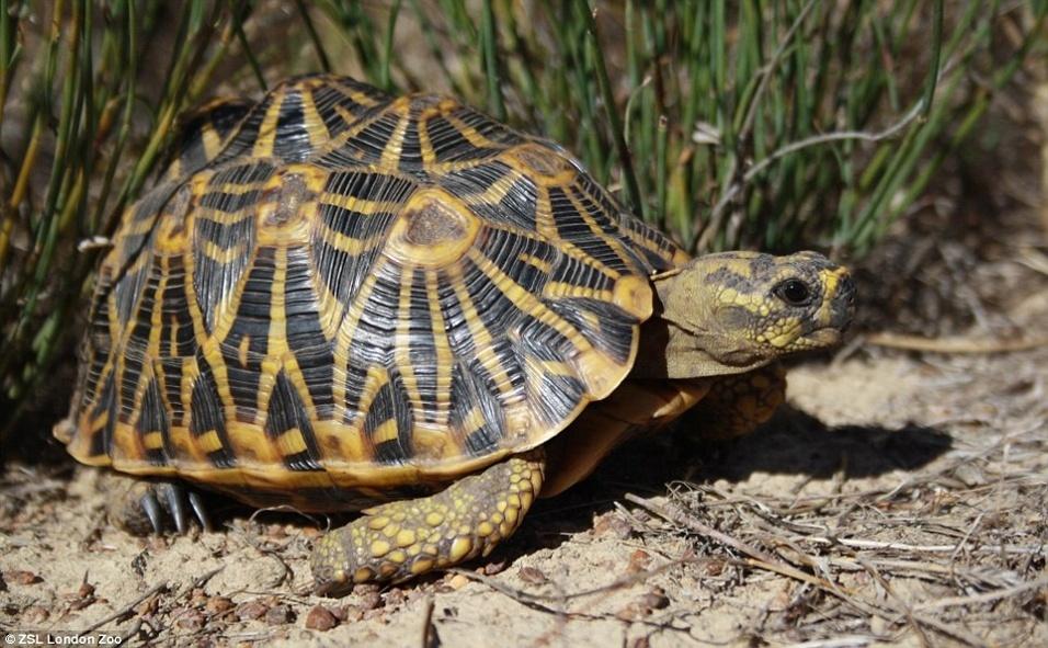 """Os caçadores matam a """"Psammobates geometricus"""", espécie da África do Sul, para pegar os cascos com belos padrões geométricos. A tartaruga também sofre ameaças da destruição do seu habitat"""