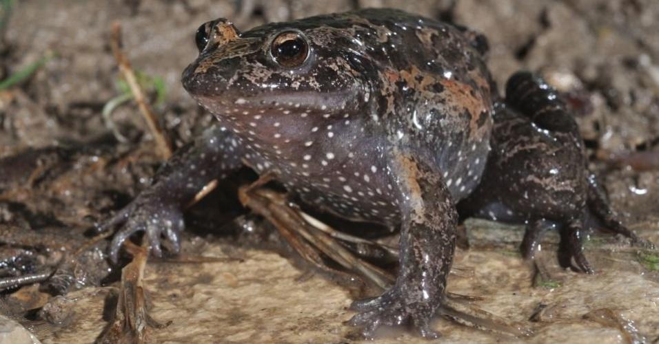 """A espécie """"Discoglossus Nigriventer"""", sapo encontrado em Israel, está ameaçado por ser presa de pássaros e pela degradação do seu habitat"""