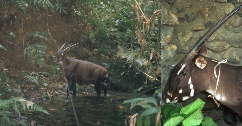 Descoberta em 1992, a Saola (Pseudoryx nghetinhensis) já corre risco de extinção devido à caça ilegal no Laos