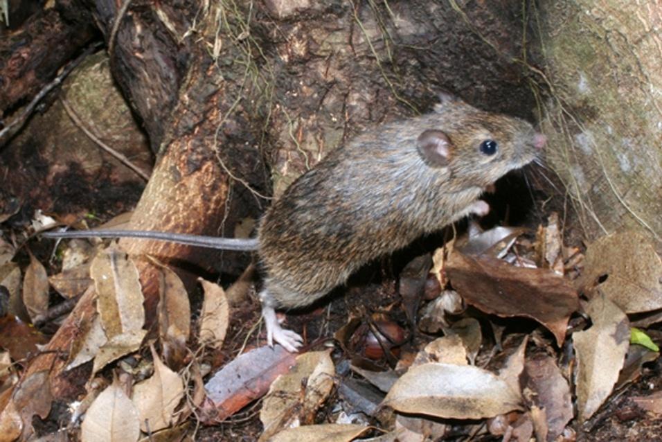 """Este roedor do Japão (""""Tokudaia muenninki"""") está criticamente em perigo por caça predatória de felinos e da diminuição do seu habitat em Okinawa"""
