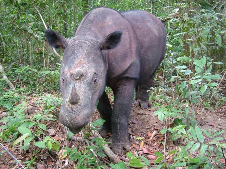 """Os rinocerontes de Sumatra (""""Diceros sumatrensis"""") estão ameaçados por conta do comércio do seu chifre. O quilo do osso - usado na medicina de países asiáticos, como China e Vietnã, por seu """"efeito de cura"""" - pode custar até US$ 65 mil (cerca de R$ 132 mil) no mercado negro"""