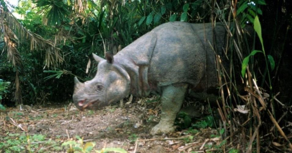 """Este rinoceronte da Indonésia (""""Rhinoceros sondaicus"""") está na lista dos cem animais mais ameaçados do planeta devido à caça ilegal"""