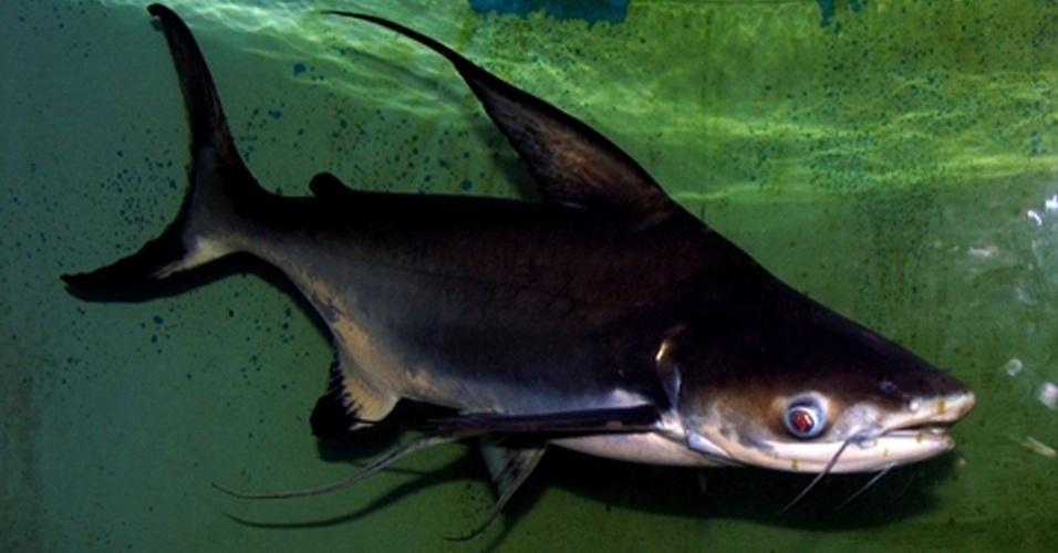 """O """"Pangasius sanitwongsei"""" corre risco de ser extinto das águas de países da Ásia, como Tailândia, China e Camboja, por ser alvo de colecionadores - o peixe pode desaparecer da natureza para viver em aquários particulares"""