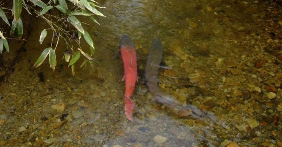 """A espécie de salmão (""""Hucho Perryi""""), que é encontrada entre o norte do Japão e a Rússia, é prejudicada pela caça esportiva"""